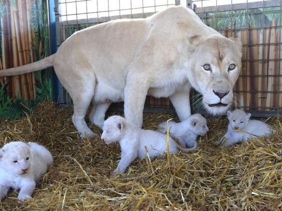 Niedlich, aber gefährlich: die vier weißen Löwenwelpen im Circus Krone.