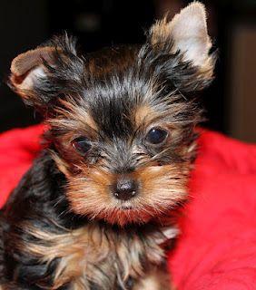 TaylorMadeYorkies.com  The BEST Yorkie Breeder...: Our Best Friends, Lizzie Lex, Pup Mushu, Yorkie Breeder