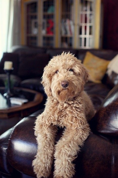Our dog Griffey (labradoodle) looks just like this but with a pink nose.