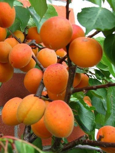 Buy Tros Orange Apricot Trees Online Crj Fruit Trees Nursery Uk Fruit Tree Nursery Fruit Trees Apricot Tree