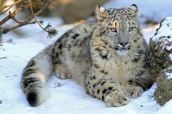 Der Junge Schneeleopard im Schnee