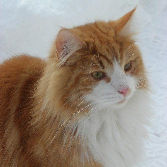 Norwegian Forest Cat Orange And White White Cat Breeds