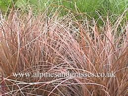 Image result for carex secta tenuiculmis cappuccino