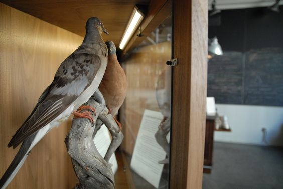 Visitors to The Interval can now view two stunning passenger pigeon specimens on loan from the Royal Ontario Museum. The Royal Ontario Museum (ROM) houses the world's largest collection of passenger pigeons. These specimens showcase the species' unique male and female coloration and beauty.