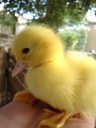 Yellow Duckling.