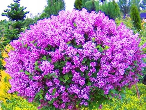 Niebieski Zimozielony Prusznik Victoria Sadzonki 7847277382 Oficjalne Archiwum Allegro Garden Trees Creative Landscape Diy Garden Projects