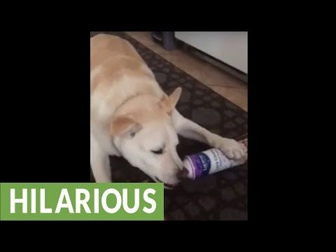 Smart Dog Learns How to Get Whipped Cream out of the Can | Lolcats 'n' Funny Pictures - I Can Has Cheezburger? | Bloglovin'