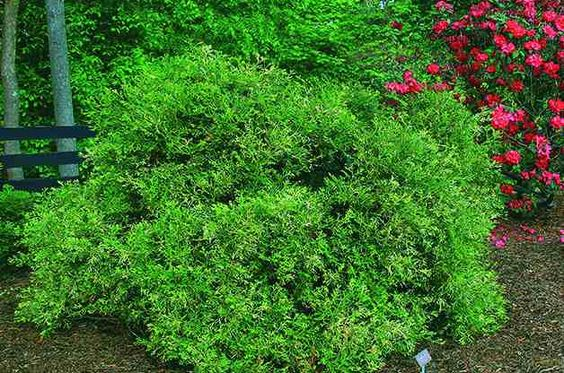 Top 10 Dwarf Conifers For Small Space Gardening Hiba 400 x 300