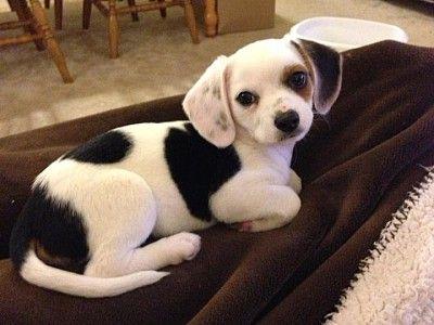 Chihuahua - Beagle - Mischling