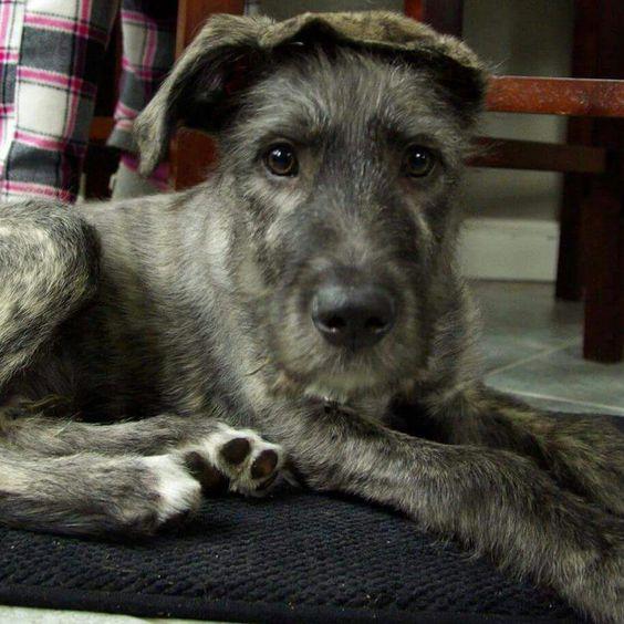 Irish wolfhound puppy Nook