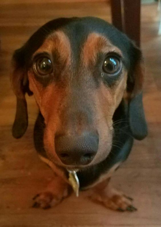 Resultado de imagen para dachshund staring