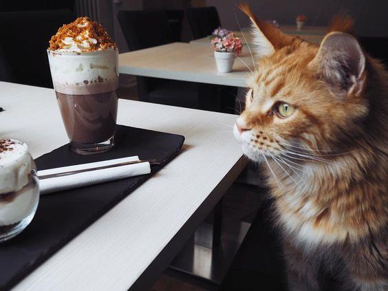 """Cet après-midi nous avons testé le bar à chats """"La maison d'Élise"""" dans Nantes (6 rue Jean de la Fontaine). Un lieu spécialement dédié aux Maine Coon.  Jerkhan est venu mendier notre goûter.  #nekocafe #barachats #lamaisondelise #nantes #mainecoon #foodporn #catstagram #cat #vscocam #olympuspen by molaireettentacules"""