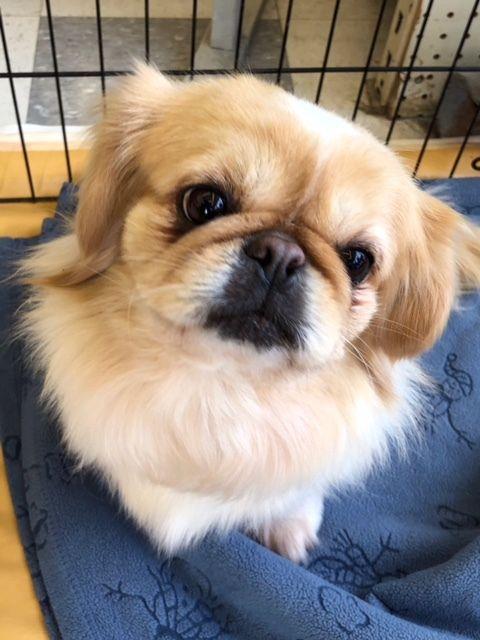 Adopt Daisy Adoption Pending On Pekingese Puppies Pekingese Dogs Small Dog Rescue