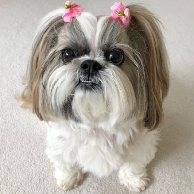 Lacey Shih Tzu Youtube Shih Tzu Cute Animals Animals And Pets