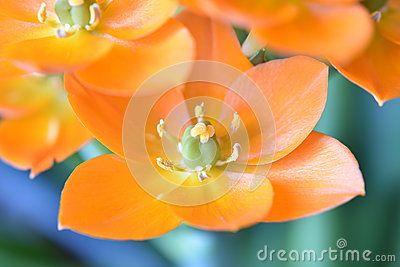 Ornithogalum orange flower macro photo