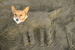 chubbythecorgi: My version (weird lump in front bc Chubby attempted escape before I finished so I had to bury his paws)