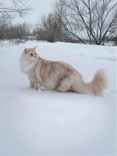 Pin By John Bryan Abon On Mainecoon Norwegian Forest Cat Pretty Cats Forest Cat
