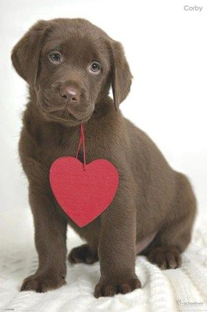 Aww....so sweet! I love this chocolate lab photo with a heart prop! Perfect Valentine Card! Valentine's Day Photo Session Idea / Pet Photography ♡