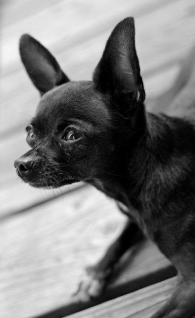 chihuahua black and white chihuahuas black and white and black on pinterest 6537