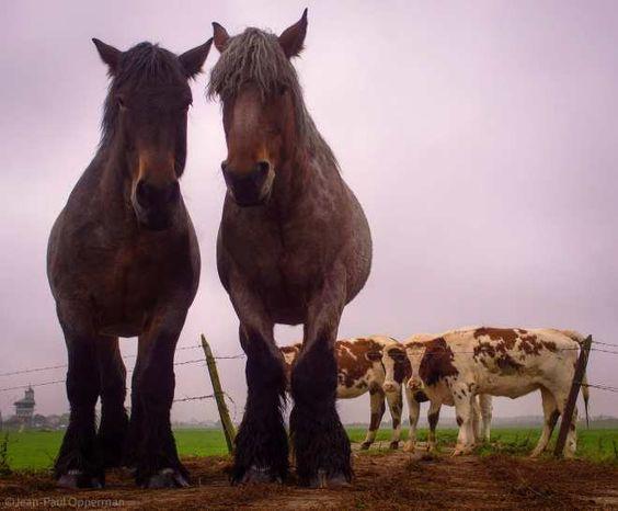 Op de uiterwaarden in Echteld stonden deze 2 grote paarden me op te wachten als een soort poortwachters terwijl de koeien op de achtergrond al even nieuwsgierig naar mij waren. Er lopen dan ook niet veel mensen in het koude natte en grijze weer over de uiterwaarden. Het zijn echt grote paarden als je er voor staat en ze je aankijken, maar ze doen geen vlieg kwaad, hoewel als je per ongeluk tussen ze in komt te staan en je een duw krijgt die voor een ander paard bedoeld is, wordt je wel even…