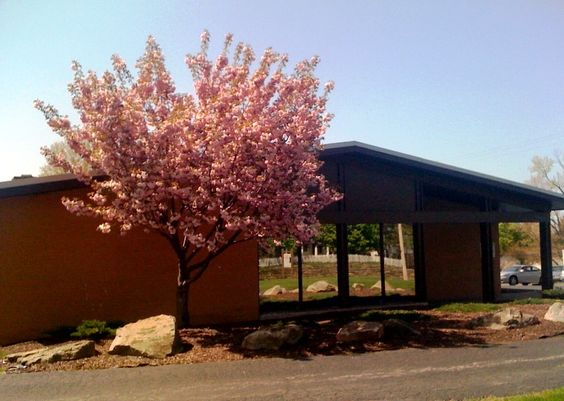 Full Bloom! Beautiful tree in front of the Rescue Mission of Mahoning Valley's Distribution Center on Glenwood Ave in Youngstown, Oh