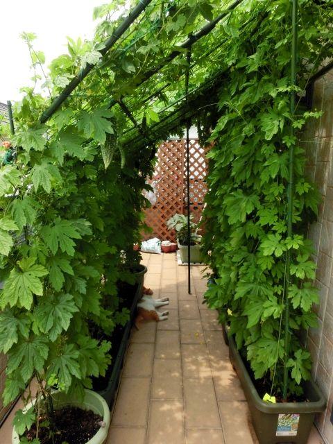 ゴーヤのグリーンカーテン 育て方のコツ プランターの選び方 摘心