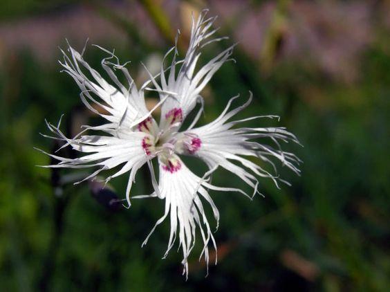 Sand Pink, Dianthus arenarius - Flowers - NatureGate