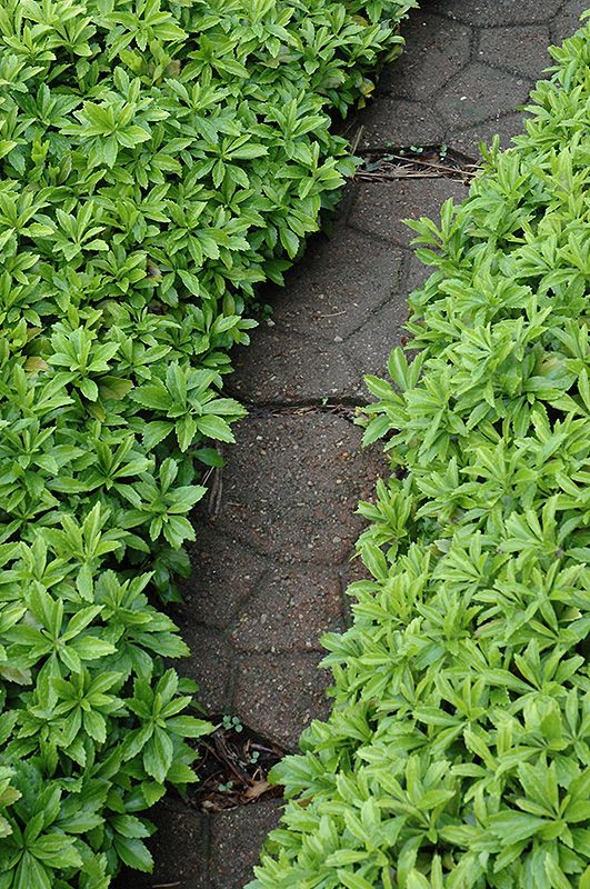 Click To View Full Size Photo Of Green Carpet Pachysandra