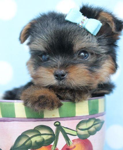 Teacup puppies fl / Aliexpress com coupons