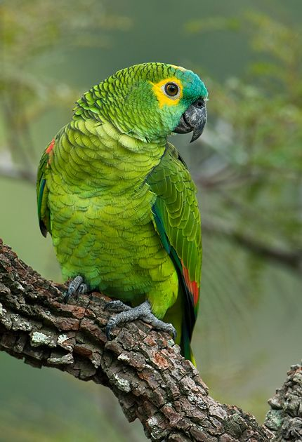 Photo Blue-fronted Parrot (Amazona aestiva) by OctavioSalles | Wiki Aves - The Encyclopedia of Brazilian Birds: