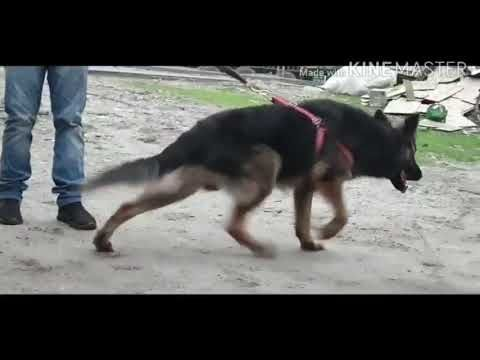 Straight Back Adult German Shepherd At 14months Age Male In Siliguri Very Friendly Youtube In 2020 German Shepherd Herding Dogs Working Dogs