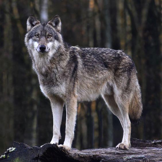 The Wolf by Günter Thomsen on 500px