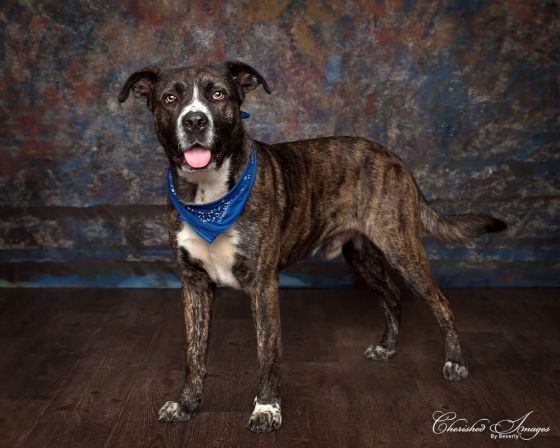 Adopt Boss On Mastiff Mix Plott Hound Animal Rescue