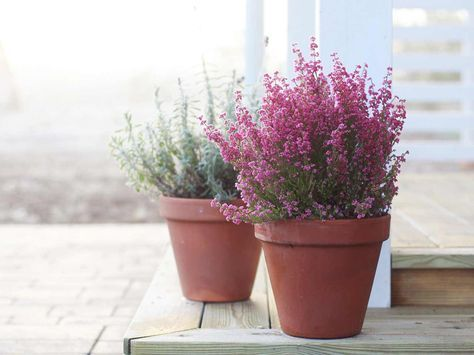 They May Be Small But Winter Flowering Heathers Make Up For Their Size By Flowering All Season Long Until Sp Winter Potted Plants Winter Plants Heather Flower