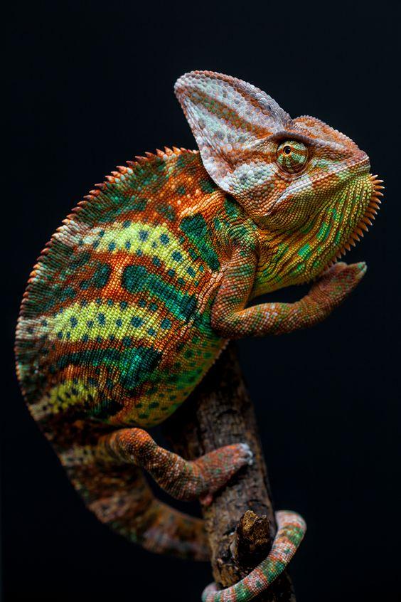 Забулената #Chameleon на Йемен, Обединените арабски емирства и Саудитска Арабия е невероятна същество способно да се променя цвета си, за да се промъкне на насекоми .: