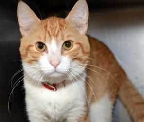 Patrick is an adoptable Domestic Short Hair - Orange And White Cat in Stamford, CT. Patrick a large, sweet and super affectionate boy wants to be your lap cat.  As I am writing this post he is curled ...