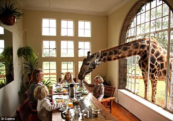 A rare Rothschild giraffe joins the breakfast table at the Carr-Hartley family's manor house in Kenya