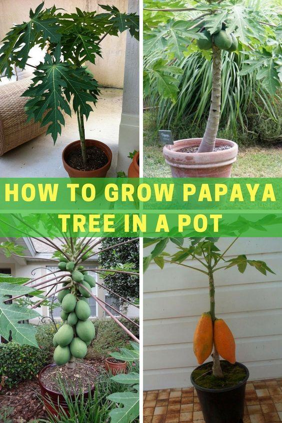How To Grow Papaya Tree In A Pot Papaya Tree Fruit Trees In Containers Papaya Plant