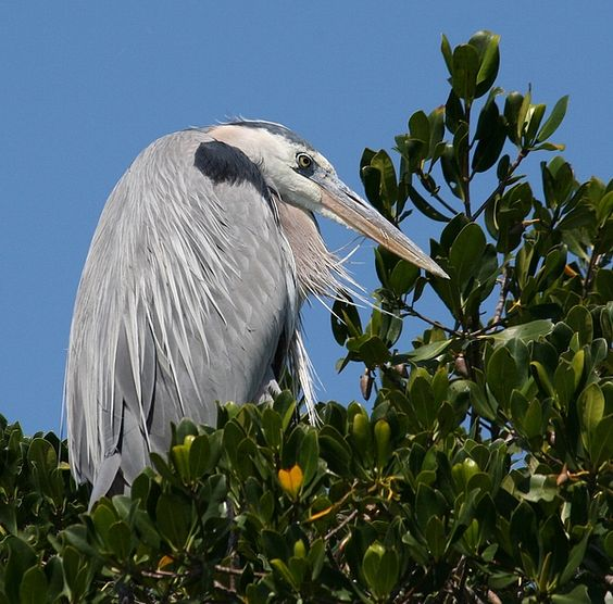 A beat blue heron resting atop a mangrove tree.