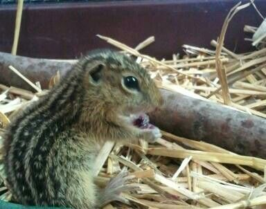 Injured 13-lined ground squirrel tended to at Providence Wildlife Rehabilitation, Inc.