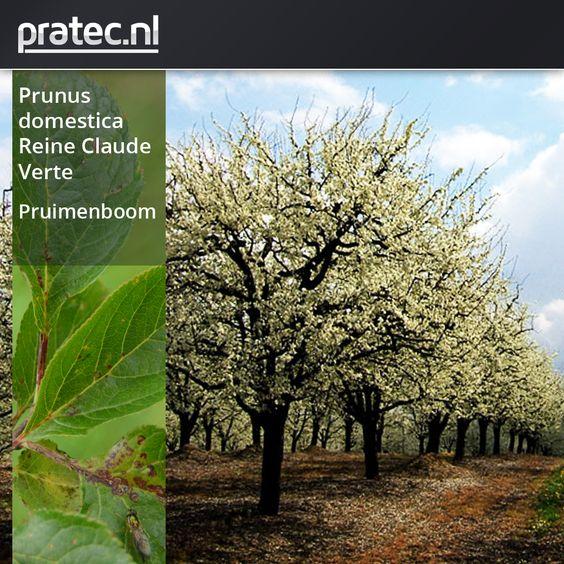 Prunus Domestica Reine Claude Verte - Pruimenboom http://pratec.nl/product-categorie/bomen/?filtering=1&filter_latijnse-naam=247 Deze pruimenboom doet het in het zuiden van ons land heel goed. De geelgroene vruchten van de Prunus domestica 'Reine Claude Verte' zijn rijp in augustus en hebben een heerlijke smaak. De Reine Claude Verte siert in het voorjaar met witte bloesem, in het najaar een zoete en sappige pruim,  die geschikt is voor consumptie en moes.
