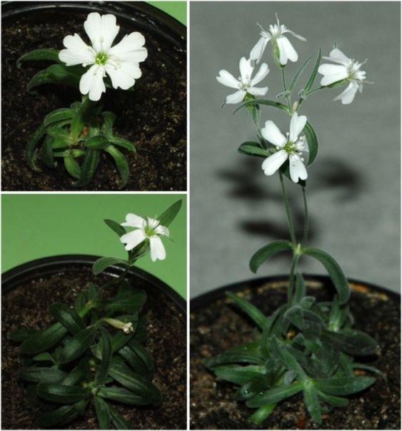 Onderzoekers gebruiken 32.000 jaar oude zaden om planten te kweken en te onderzoeken