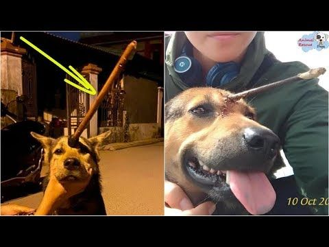 Rescue Poor Dog With The Arrow Piercing His Forehead And Amazing Recovery Youtube In 2020 Poor Dog Dogs Rescue Dogs