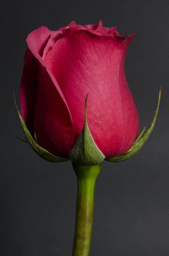 CHERRY OH - Eden Roses Ecuador #Flowers #Roses #Ecuador #PrimeroEcuador #Ecuador #Rose #MitadDelMundo #ThePleasureOfBeauty