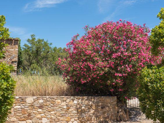 Ob der Oleander winterhart ist, erfahrt Ihr auf Mein mediterraner Garten