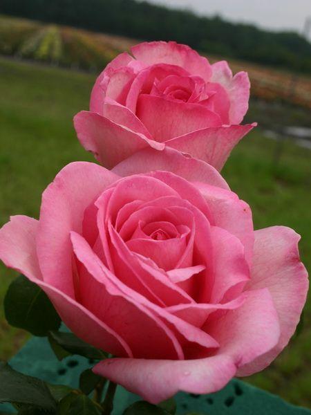 Hybrid Tea rose 'Sweet Slogan'