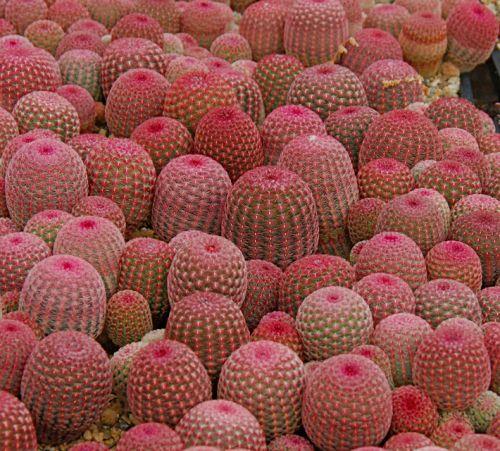 enjoycolorfullife:  su-su-su-succulents:Echinocereus pectinatus v. rigidissimus'Arizona Rainbow Cactus'gypsealife