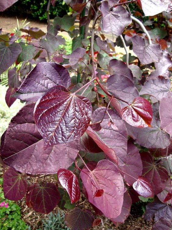 Cercis 'Ruby Falls': Trees Shrubs, Color Dark, Cercis Ruby, Pretty Plants, Plants Color
