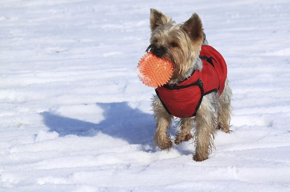 dog in snow holding a ball in mouth