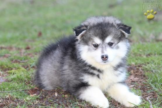 Pin By Pelemayor On Cuteness Overload Pomsky Puppies Puppies